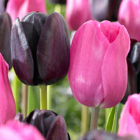 30 Tulip Black/Pink Partner Collection