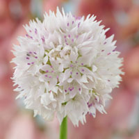 10 Allium amplectens Graceful Beauty