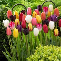 15 Long-stemmed Tulips Mixed