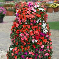 Busy Lizzie (Impatiens) Beacon (Garden Ready)