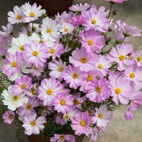 Cosmos Apollo Lovesong (Garden Ready)