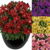 4 Alstroemeria Inticancha Collection