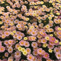 6 Argyranthemum aramis bicolour Lemon and Pink