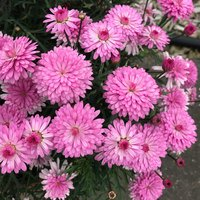 6 Argyranthemum aramis Double Dark Pink