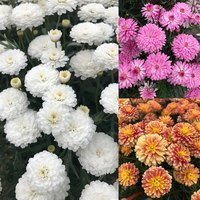 6 Argyranthemum aramis Collection