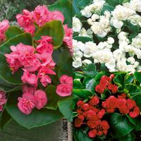 Begonia semperflorens Double Florenzo Collection
