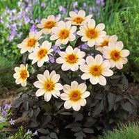 Dahlia Happy Days White-Cream