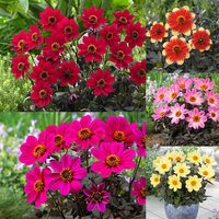 5 Dahlia Happy Days Collection