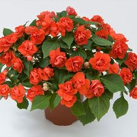 6 Impatiens Double Diadem Orange