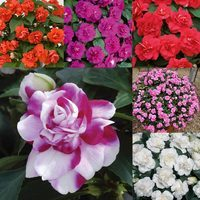 6 Impatiens Double Diadem Collection