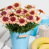 6 Osteospermum Erato Double Orange Centre