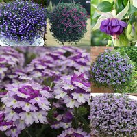 24 Summer Purple/Blue Trailing Basket Collection