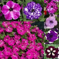Petunia Speckled Mixed