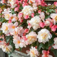Begonia Fragrant Sweet Spice Appleblossom