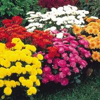 6 Chrysanthemum Hardy Garden Mums Mixed