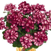 6 Geranium Great Balls of Fire Burgundy Blaze