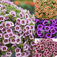 Calibrachoa bicolour Hula Collection