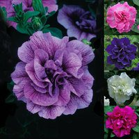 10 Petunia Tumbelina Super Scented Collection