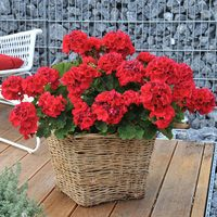 Geranium Big Ezee Red