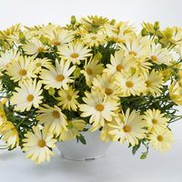 Osteospermum Erato Basket Yellow
