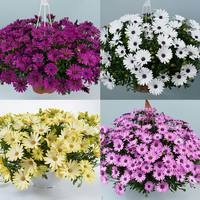 6 Osteospermum Erato Basket Mixed