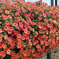 6 Calibrachoa Calita Apricot Shades