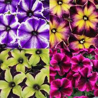 12 Petunia Crazytunia Collection