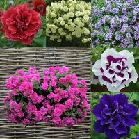18 Petunia Tumbelina Collection