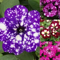 12 Petunia Speckled Collection