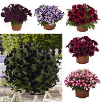 Petunia Sweetunia Collection