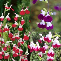 6 Salvia Hardy Bicolour Collection