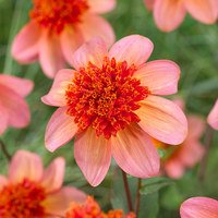 3 Dahlia Totally Tangerine