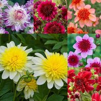 6 Dahlia Anemone (Powder Puff) Collection