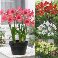 4 Amaryllis Sonatini Collection