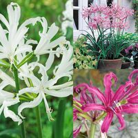 12 Nerine Collection (Guernsey Lilies)