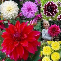 Dahlia Dinner Plate Collection