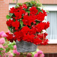 Begonia Cascading Red 3/4cm Tubers