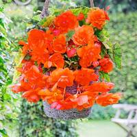 Begonia Giant Cascading Orange 3/4cm Tubers