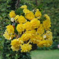 3 Begonia Cascading Yellow 3/4cm Tubers