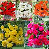 Begonia Giant Cascading Collection 3/4cm Tubers