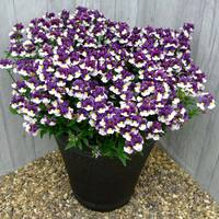 6 Nemesia Sunpeddle Painted Plum