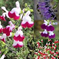 6 Salvia Hardy Mixed