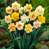 25 Double Daffodils Mixed