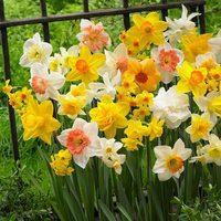 25 Daffodil and Narcissi Mixed