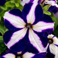 Petunia Ace of Hearts