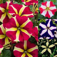 12 Petunia Royal Flush Collection