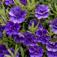 6 Calibrachoa Double Can Can Deep Blue