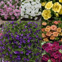 18 Calibrachoa Double Can Can Unusual Collection