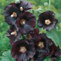 Black Hollyhock (Alcea) 9cm Pot
