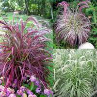 Pennisetum Rare and Unusual Collection